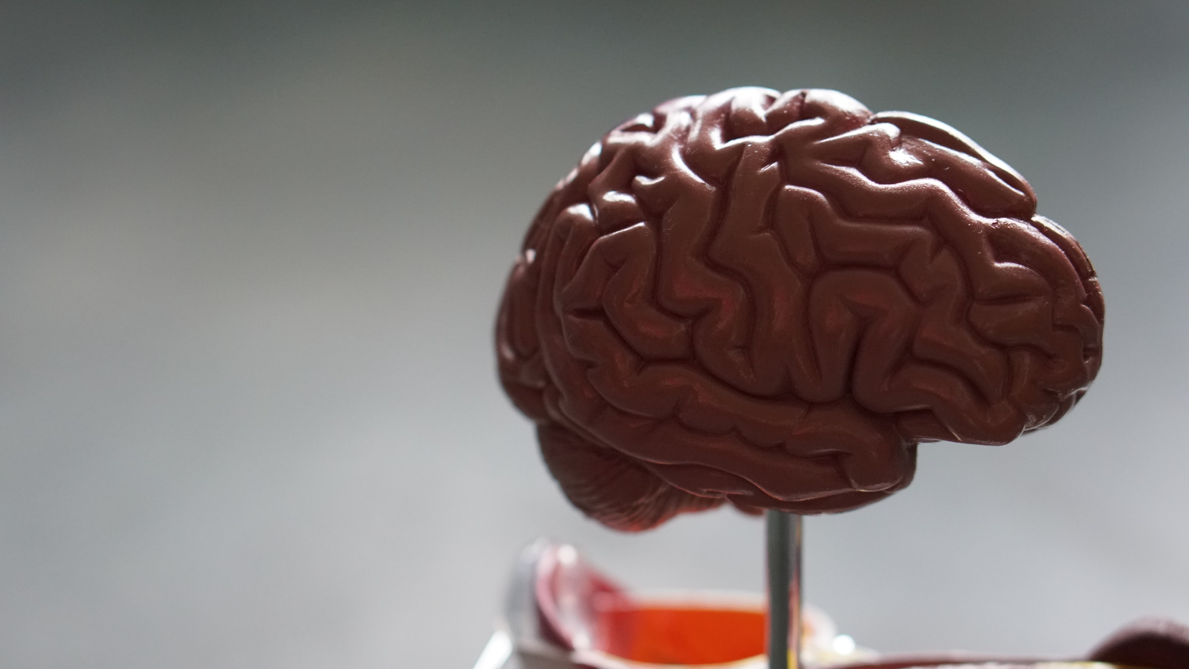 A model of a brain is displayed.